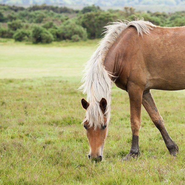 horse in a field eating grass
