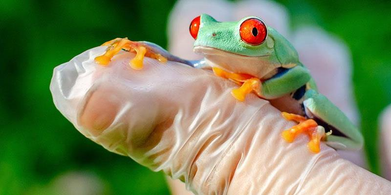 Agalychnis callidryas (Red-eyed Treefrog) is sitting on gloved hands.