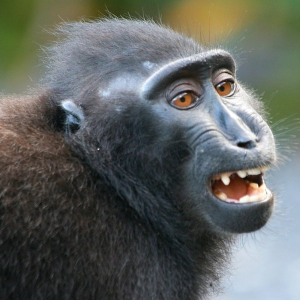 juvenile primate making a play face