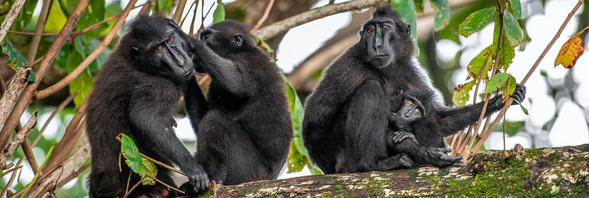 Four black macaques sit on tree in jungle