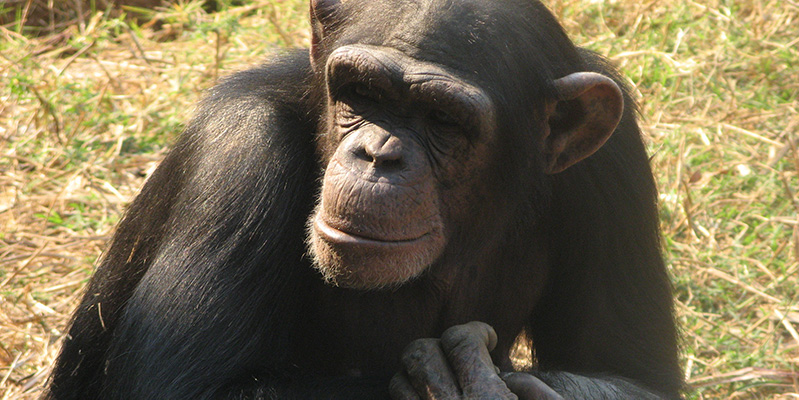 Chimp sitting