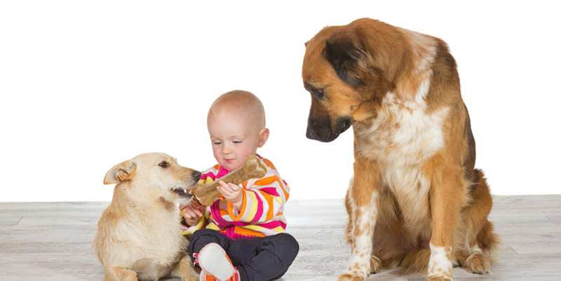 Baby holding bone for one dog while other dog watches