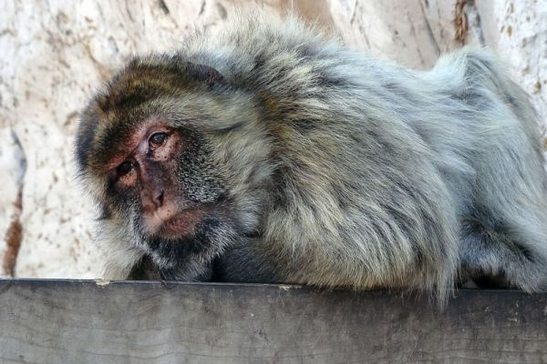 Macaque lying down