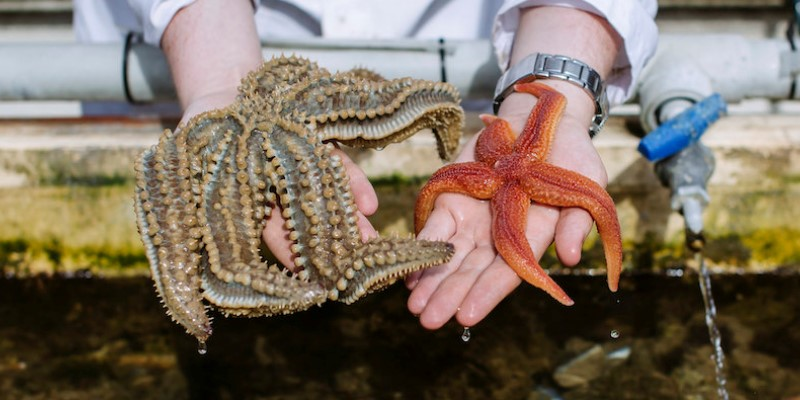 a-marine-scientist-holding-two-sea-stars-one-in-each-hand
