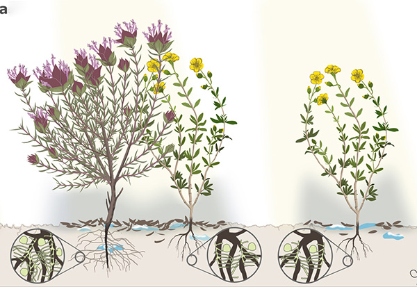 Artist's impression of a mature plant shielding a smaller plant