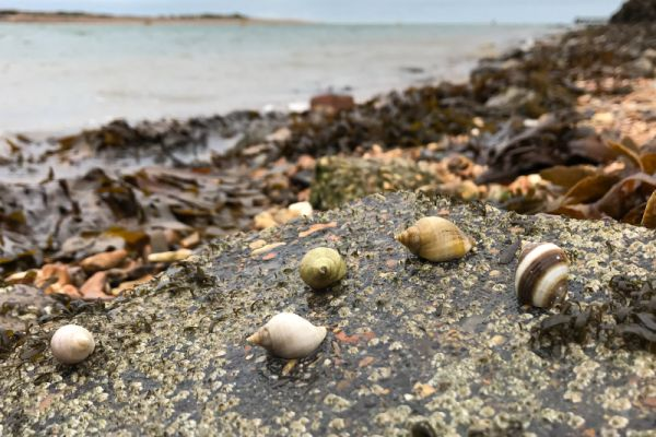Dog whelks on Eastney beach