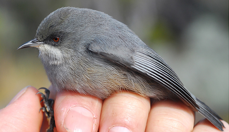 The gray version of the grey white-eye bird, on Reunion Island