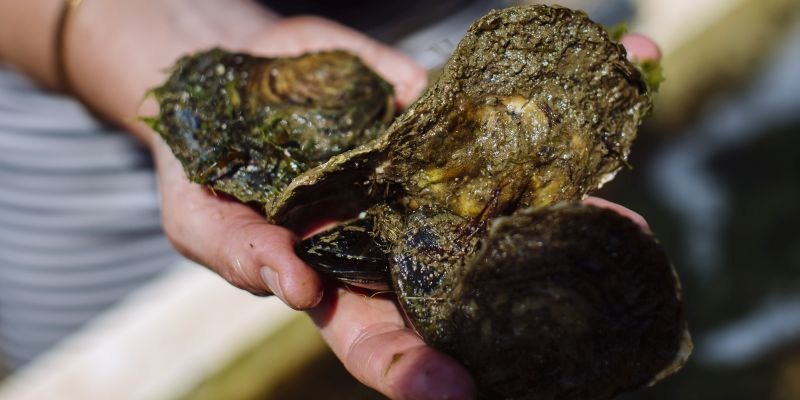 3 oysters being held in a hand